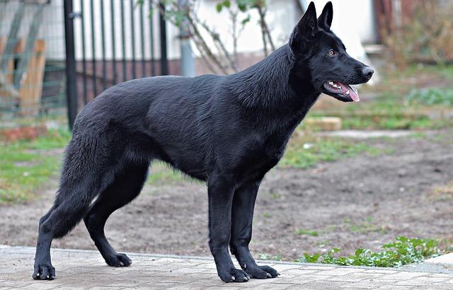 mimpi anjing hitam