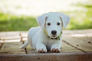 arti mimpi diikuti anjing putih
