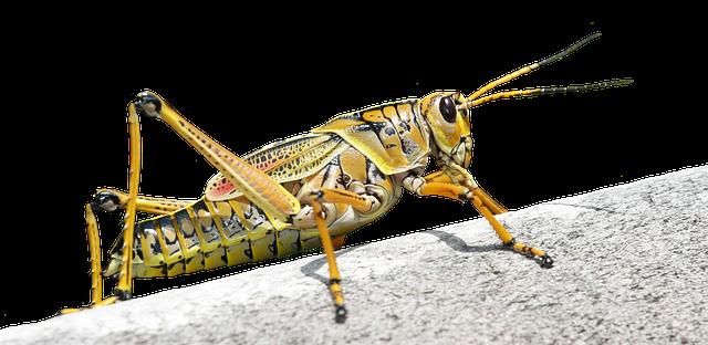 mimpi belalang