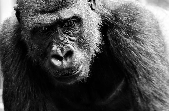 mimpi gorila mengejar