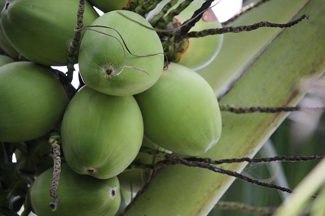 mimpi kelapa