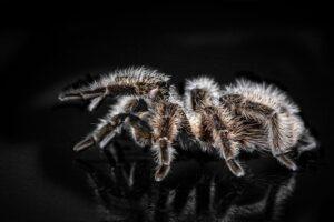 mimpi tarantula
