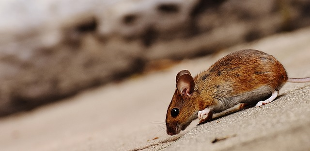 mimpi bangkai tikus