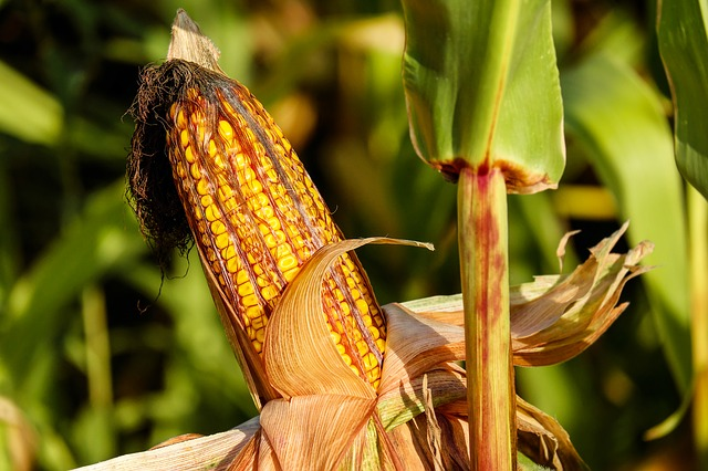 mimpi melihat jagung muda