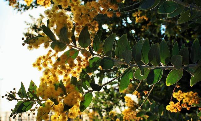 mimpi pohon akasia