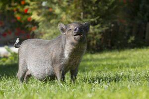 mimpi babi hutan