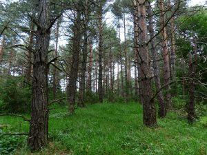 mimpi pohon pinus
