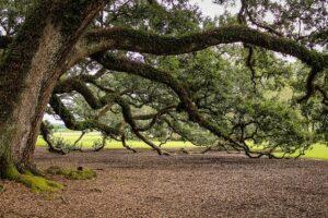 mimpi pohon oak