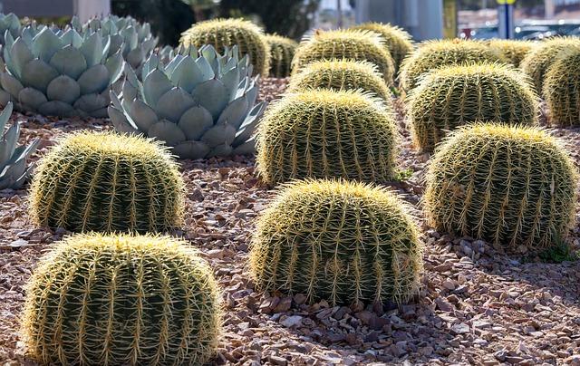 mimpi kaktus