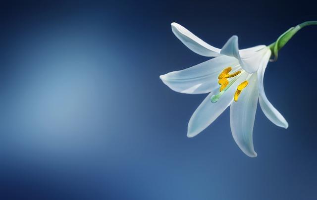 mimpi bunga lili
