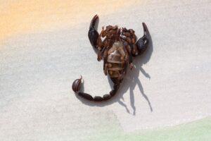 ciri scorpio
