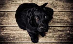 tafsir anjing hitam