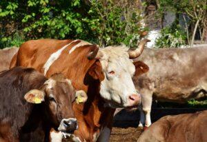 mimpi sapi lembu